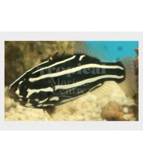 Grammistes sexlineatus - Sixline Grouper