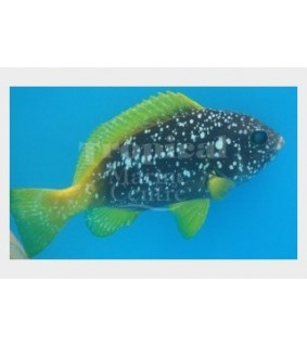 Epinephelus flavocaeruleus - Yellow Fin Blue Cod