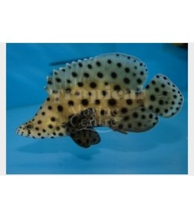 Chromileptes altivelis - Panther Grouper