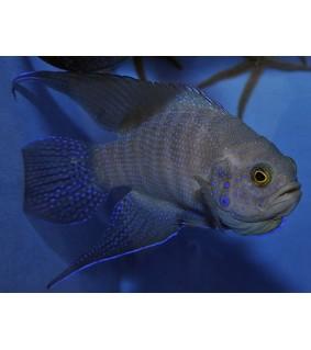 Paraplesiops meleagris - Blue Devil - Western
