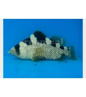 Pogonoperca punctata - Clown Grouper