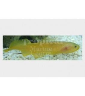 Diancistrus fuscus - Yellow Knife Fish