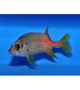 Sargocentron spiniferum - Soldier Fish - Sabre