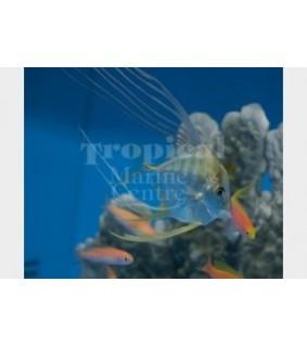 Alectis indica - Threadfin