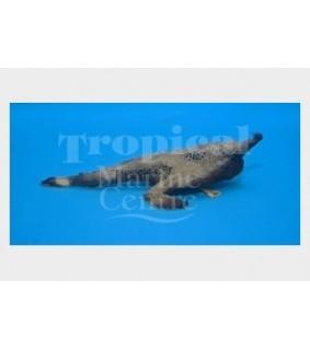 Ogcocephalus radiatus - Walking Sea Bat