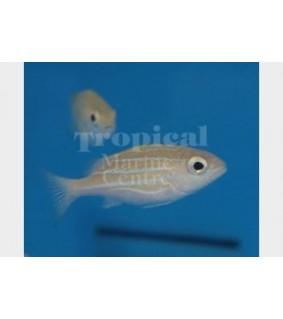 Lutjanus kasmira - Snapper - Blue Stripe