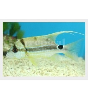 Symphoricthys spilurus - Snapper - Longfin