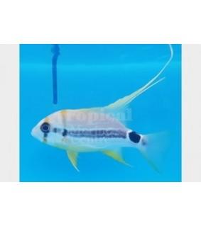 Symphoricthys spilurus - Snapper - Longfin TANK BRED