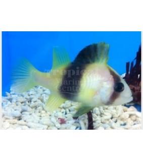 Diploprion bifasciatum - Snapper - Yellow