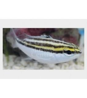 Scolopsis lineata - Two Stripe Scolopsis