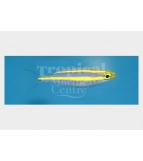Pentapodus emeryii - Scolopsis - Blue/Yellow