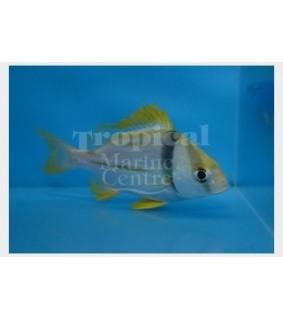 Anisotremus virginicus - Pork Fish
