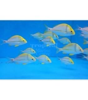 Anisotremus nirginicus - Pork Fish - TANK BRED
