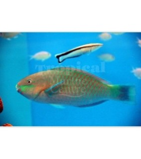 Scarus quoyi - Parrotfish - Quoyi