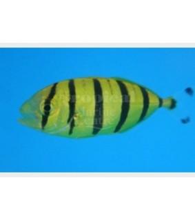 Gnathonodon speciosus - Kultapiikkimakrilli - Pilot Fish