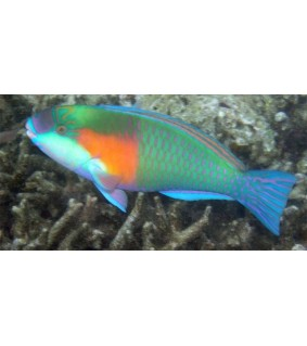 Scarus spp, - Parrot - Orange Spot