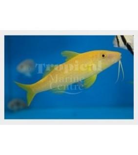 Parupeneus cyclostomus - Goat - Yellow