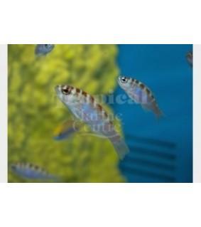 Serranus tortugarum - Bass - Caribbean Blue