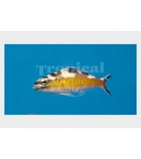 Serranus tabacarius - Bass - Tobacco