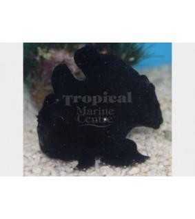 Antennarius sp. - Angler Fish - Black