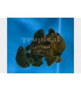 Antennarius sp. - Angler Fish - Common