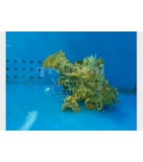Histrio histrio - Angler Fish - Sargasso