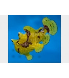 Antennarius maculatus - Angler Fish - Wart Skin