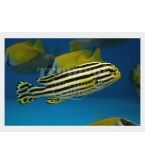Plectorhinchus lineatus - Striped Sweetlips