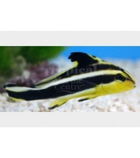 Plectorhinchus pictus - Yellow Hi-Fin Sweetlips