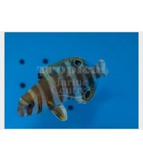 Choerodon fasciatus - Harlequin Tusk - nuori