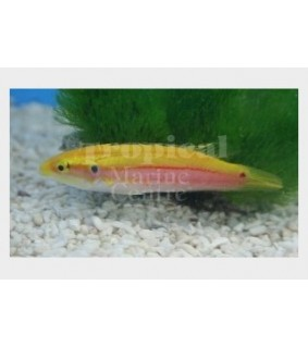 Bodianus bimaculatus - Candy Hog - West Ind Ocean