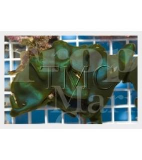 Codium sp. - Algae on Rock - Cabbage