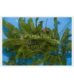 Caulerpa sertularioides - Algae on Rock - Caulerpa