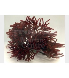 Galaxaura sp. - Bird's Nest Algae - Red