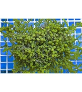 Caulerpa racemosa - Cult Grape