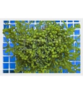 Caulerpa racemosa - On Rock - Grape Algae