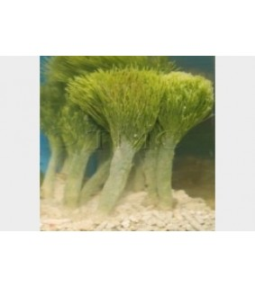 Penicillus capitatus - Shaving Brush Algae