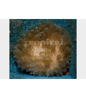 Entacmaea quadricolor - Bubble Anemone - Common