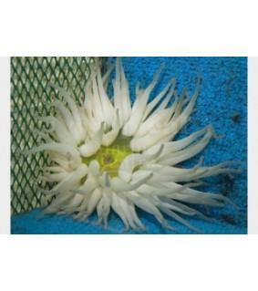 Condylactis sp. - Caribbean Anemone