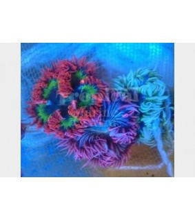 Epicystis crusifer - Flower Anemone - White/Green/Red