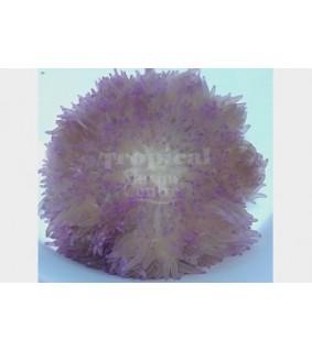Heteractis crispa - Malu Anemone - Pink