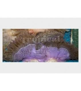 Heteractis magnifica - Ritteri Anemone - Purple Foot