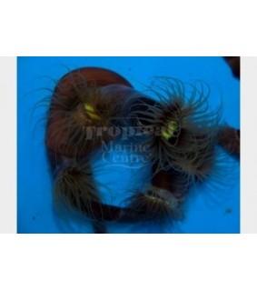 Cerianthus sp. - Tube Anemone - Common
