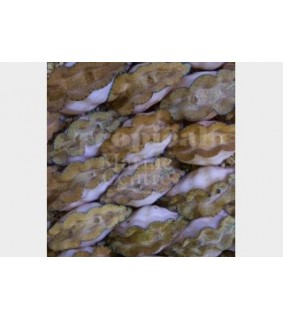 Tridacna Derasa - Cultured Clam