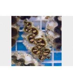 Tridacna Maxima - Cultured Clam - Gold