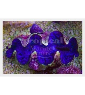 Tridacna Maxima - Cultured Clam - Ultra