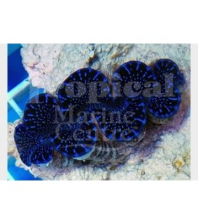 Tridacna Maxima/Squamosa hybrid - Cultured Clam