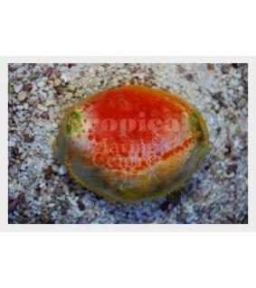Pseudocolochirus violaceus - Clown Cucumber