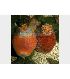 Pseudocolochirus violaceus - Clown Cucumber - Red