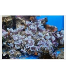 Bispira brunnea - Feather Duster - Cluster